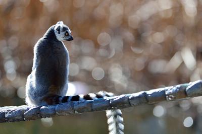 Ringtailed_lemur19002_4
