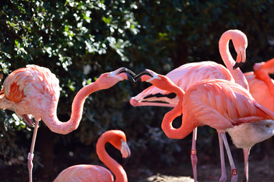 Cuban_flamingo3001