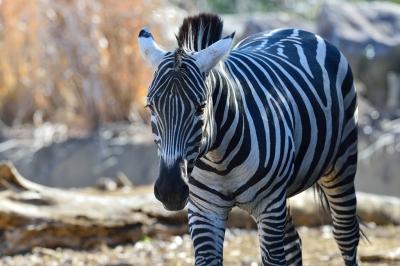 Grants_zebra15001