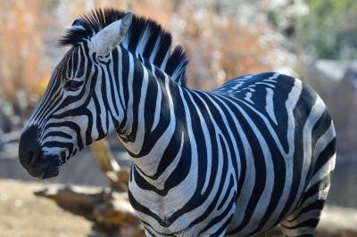 Grants_zebra15002