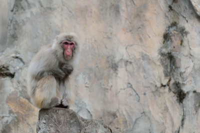 Japanese_macaque38001