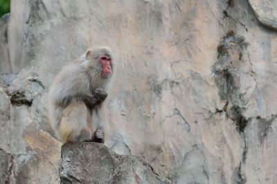 Japanese_macaque38002