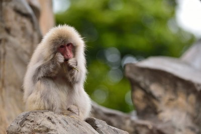 Japanese_macaque38003