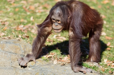 Orangutan24001