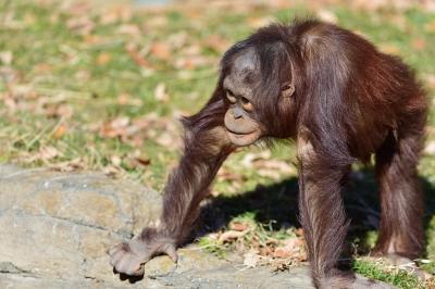 Orangutan24002