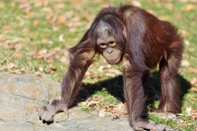 Orangutan24003