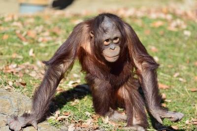 Orangutan24004