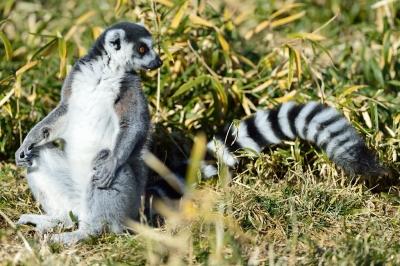Ringtailed_lemur20001