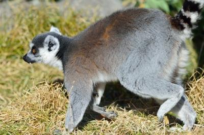 Ringtailed_lemur20002