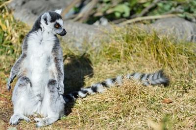 Ringtailed_lemur20003