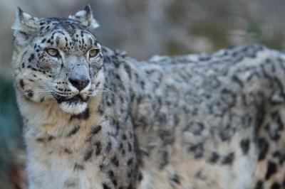 Snow_leopard37002