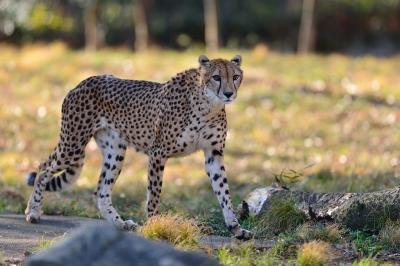 Cheetah73002