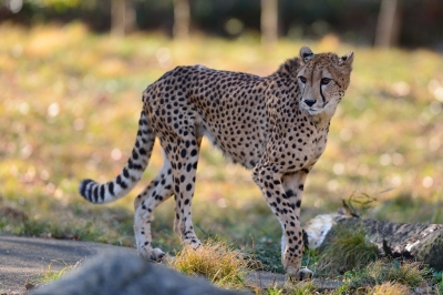 Cheetah73003