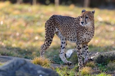 Cheetah73004
