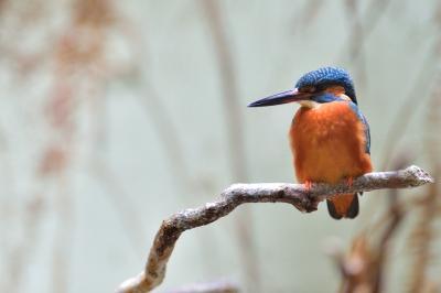 Common_kingfisher11001