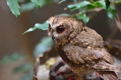 Indan_scops_owl0001