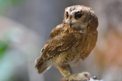 Indan_scops_owl0003