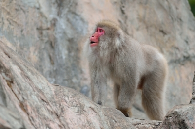 Japanese_macaque43001