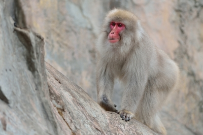 Japanese_macaque43002