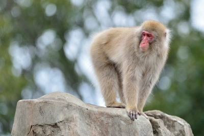 Japanese_macaque43003