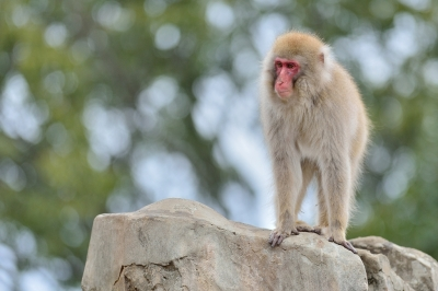 Japanese_macaque43004