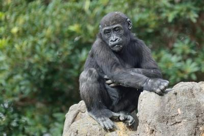 Western_lowland_gorilla25001