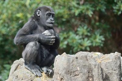 Western_lowland_gorilla25002
