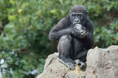Western_lowland_gorilla25003