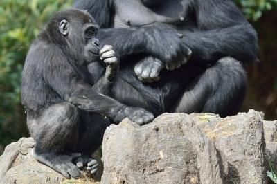 Western_lowland_gorilla25004