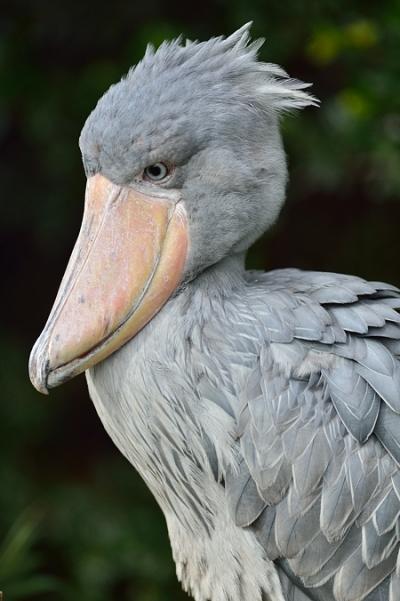 Whaleheaded_stork24002